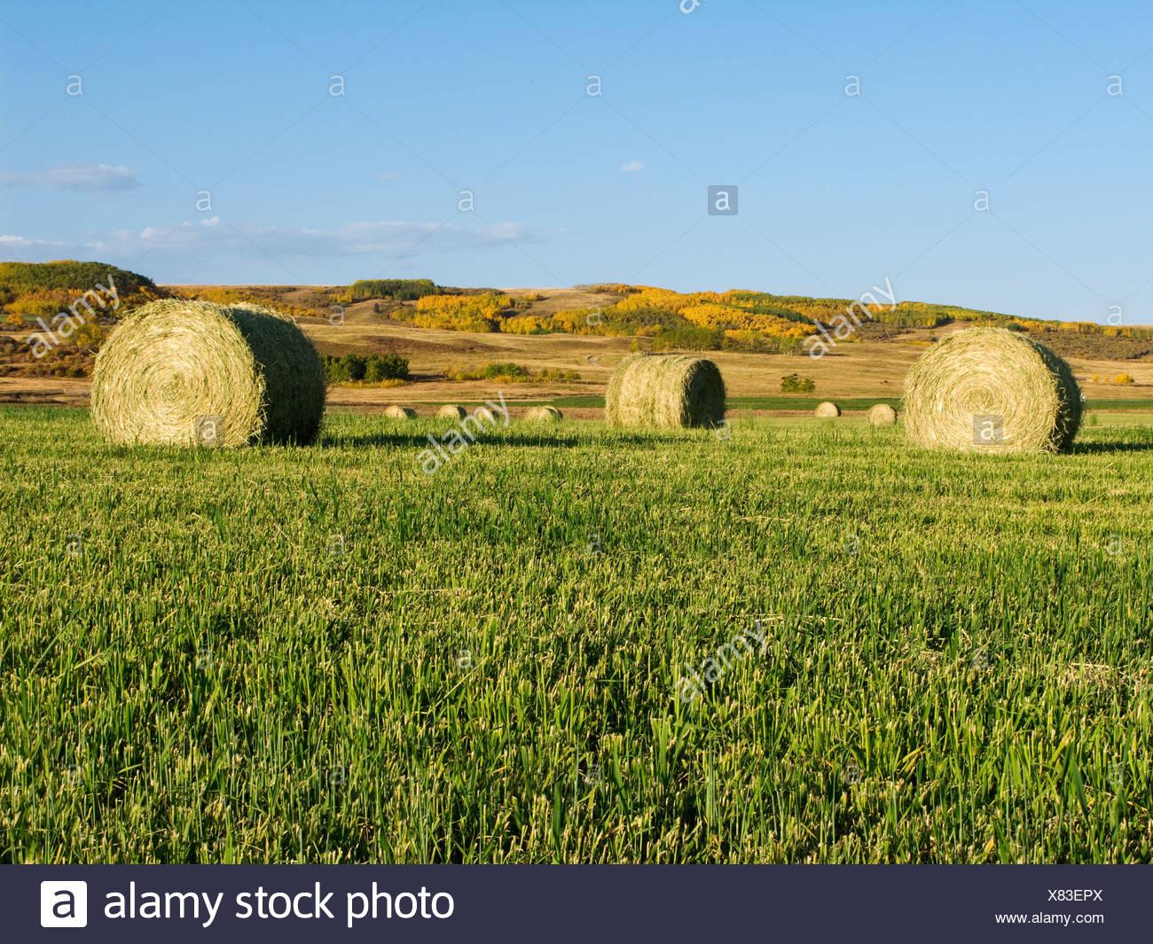 Agricoltura - Round balle di fieno sull'erba verde / stoppie Alberta, Canada. Immagini Stock