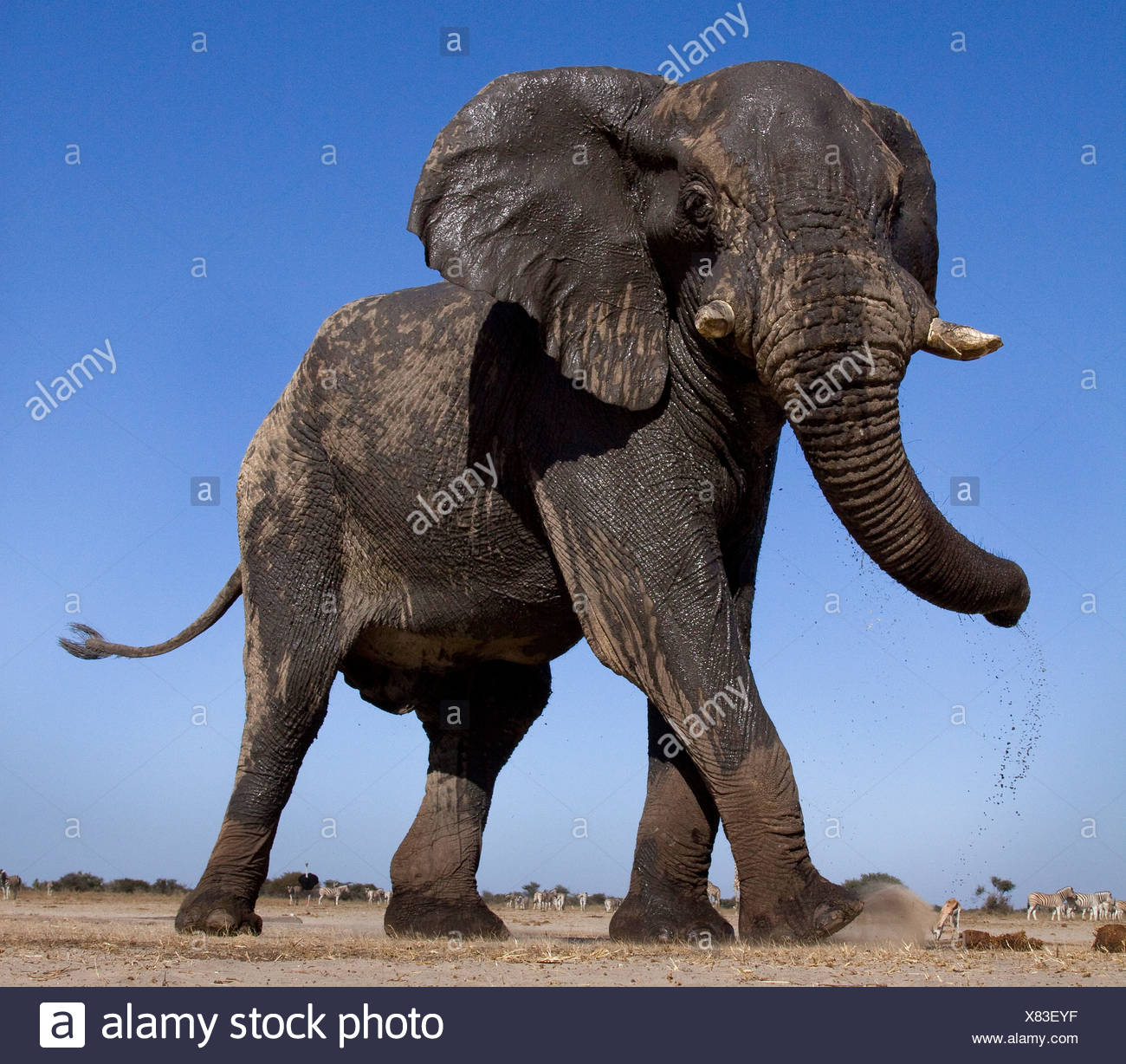 Basso angolo di elefante, Etosha Pan, Namibia Immagini Stock