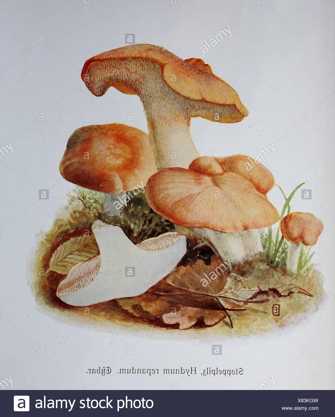 Stoppelpilz, Hydnum repandum, digitale Reproduktion einer illustrazione von Emil Doerstling (1859-1940) Immagini Stock