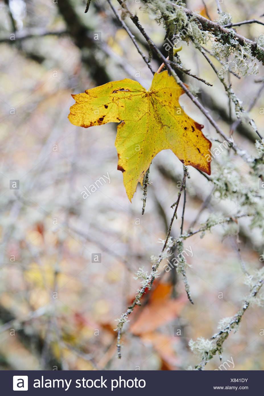 Stato di Washington USA maple leaf coperte di muschio ramo di albero autunno Immagini Stock
