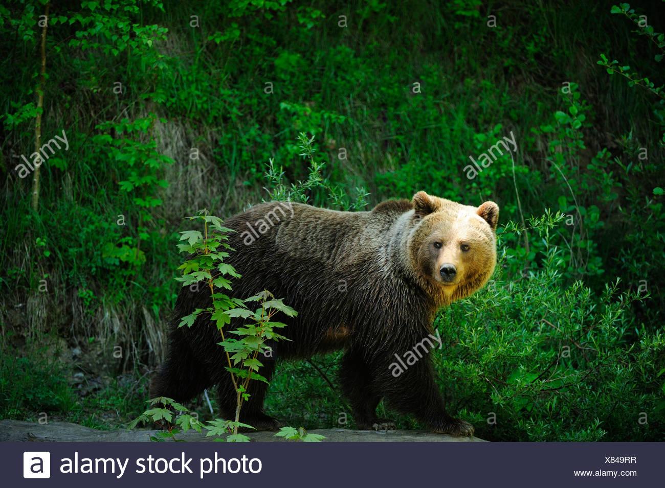 L'orso bruno (Ursus arctos), Langenberg Zoo, Adliswil, Cantone di Zurigo, Svizzera Immagini Stock