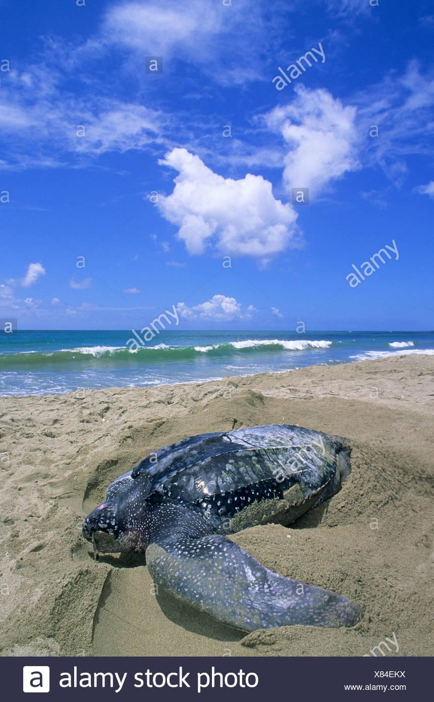 Liuto femmina tartaruga di mare (Dermochelys coriacea) lo scavo di una fossa di corpo in anticipo di posa le sue uova, Trinidad. Immagini Stock