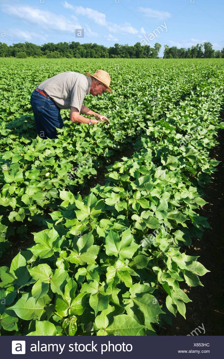 Un consulente di raccolto ispeziona una metà della crescita di raccolto di cotone in advanced boll impostare fase per metà alla fine della stagione gli insetti / Arkansas. Immagini Stock