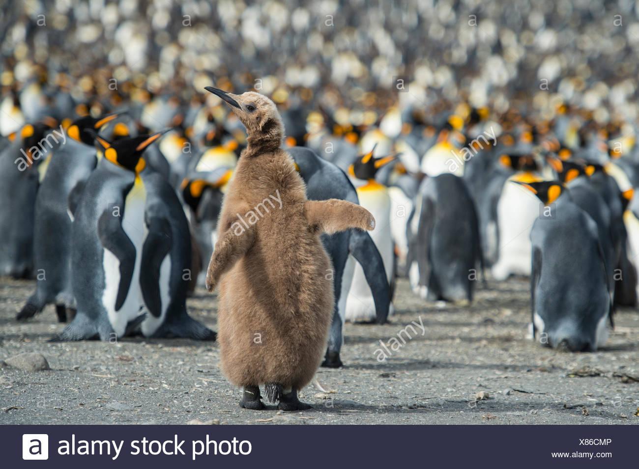 Re pinguino, Aptenodytes patagonicus, chick spicca in una folla. Immagini Stock