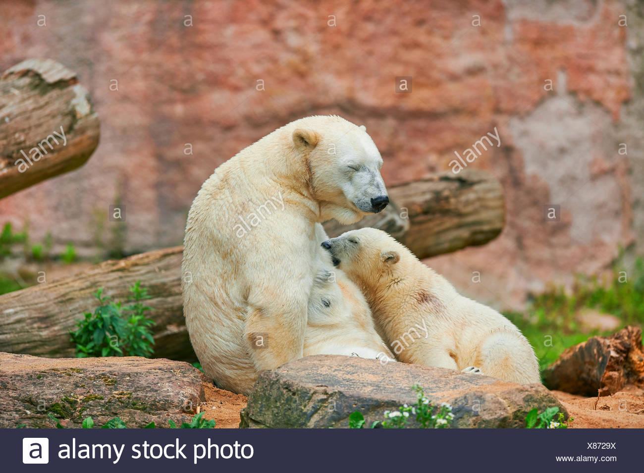 Orso polare (Ursus maritimus), polar bear cub è allattato da sua madre Immagini Stock
