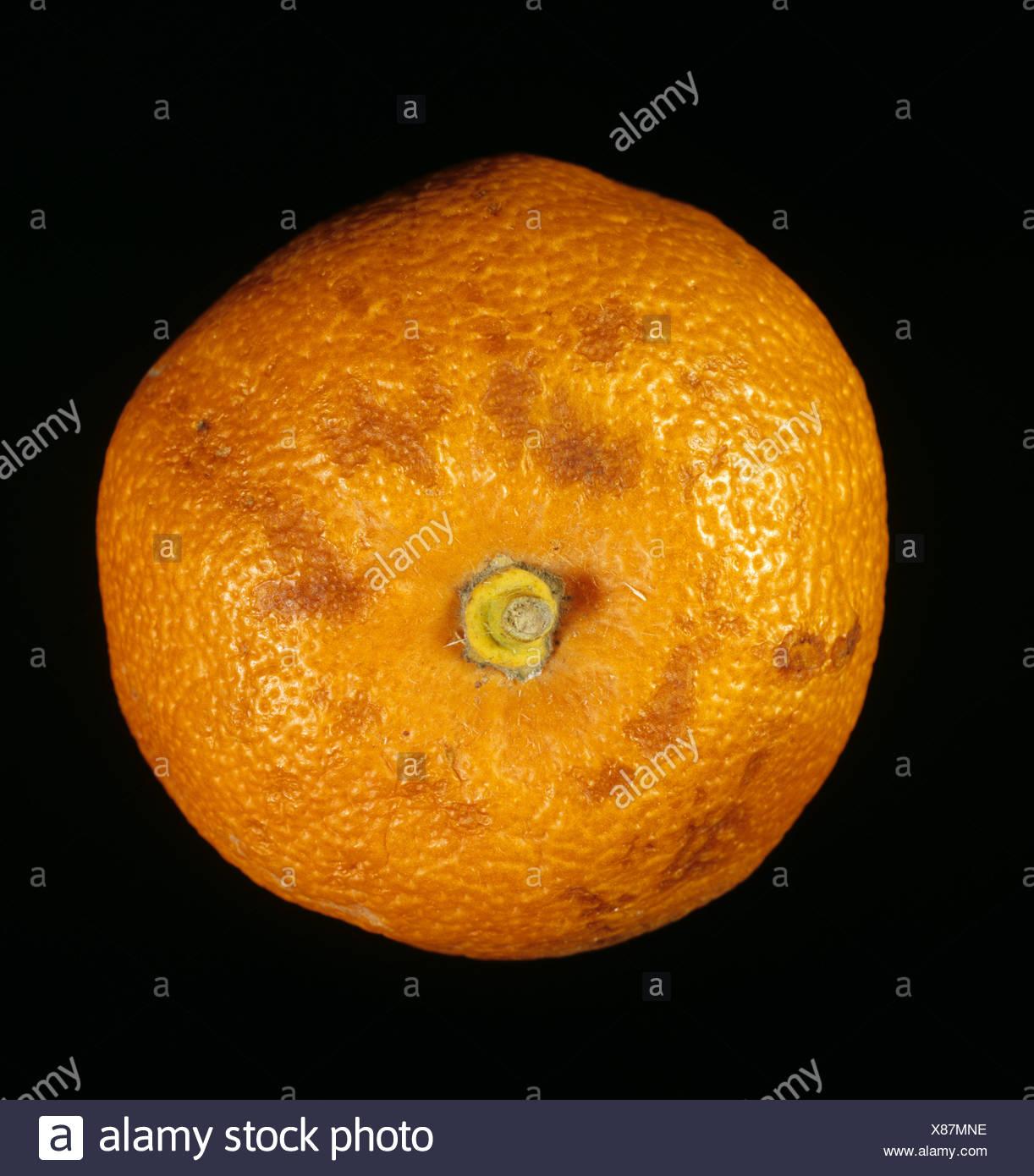 Contrassegni su orange causato da lesioni a freddo e basse temperature in negozio Foto Stock
