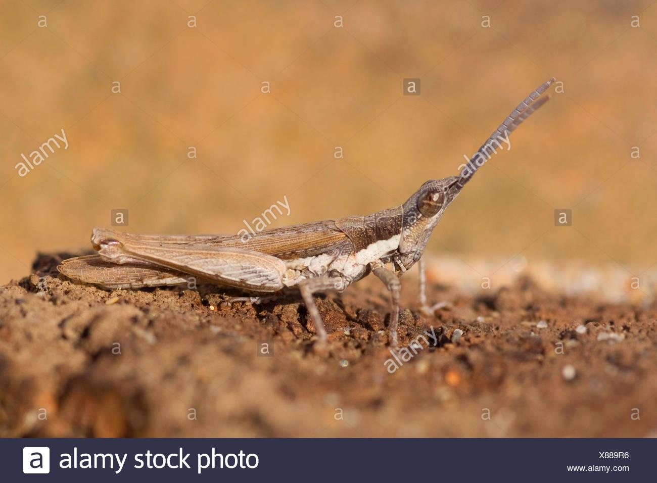 Grasshopper (Pyrgomorpha conica), a piena lunghezza ritratto, Portogallo Immagini Stock