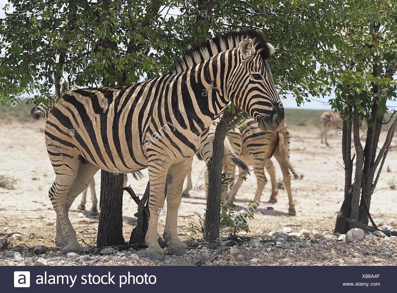 La Namibia, Etosha Nationalpark, Burchell-Zebras, Equus quagga burchelli, Bäume Afrika, Südwestafrika, Wüste, steppa, zebre, Pferde, Tigerpferde, Unpaarhufer, Säugetiere,Wildtiere, Unterstand, Schatten, Hitze Immagini Stock