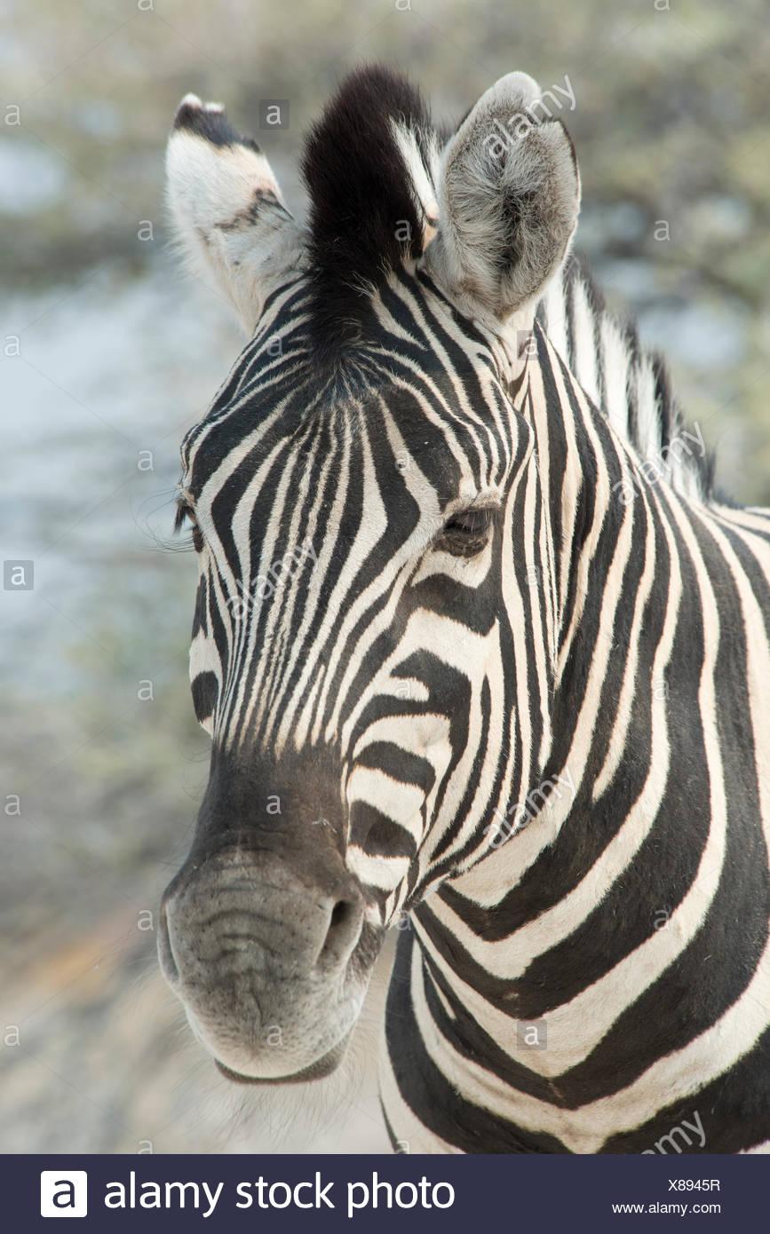 Le pianure zebra (Equus burchelli), ritratto, il Parco Nazionale di Etosha, Namibia Immagini Stock