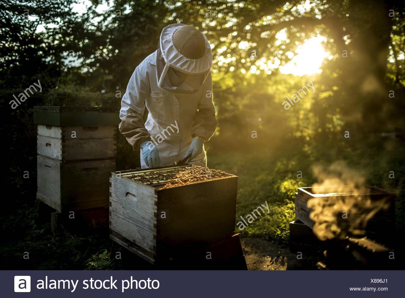 Apicoltore che indossa una tuta di apicoltura con mesh maschera facciale, ispezionare un alveare aperto. Preparazione per la raccolta del miele. Immagini Stock