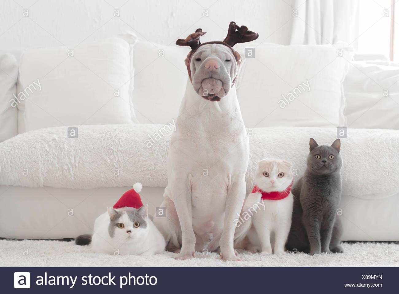 Shar Pei Cane E Tre Gatti Vestiti Per Natale Foto Immagine Stock