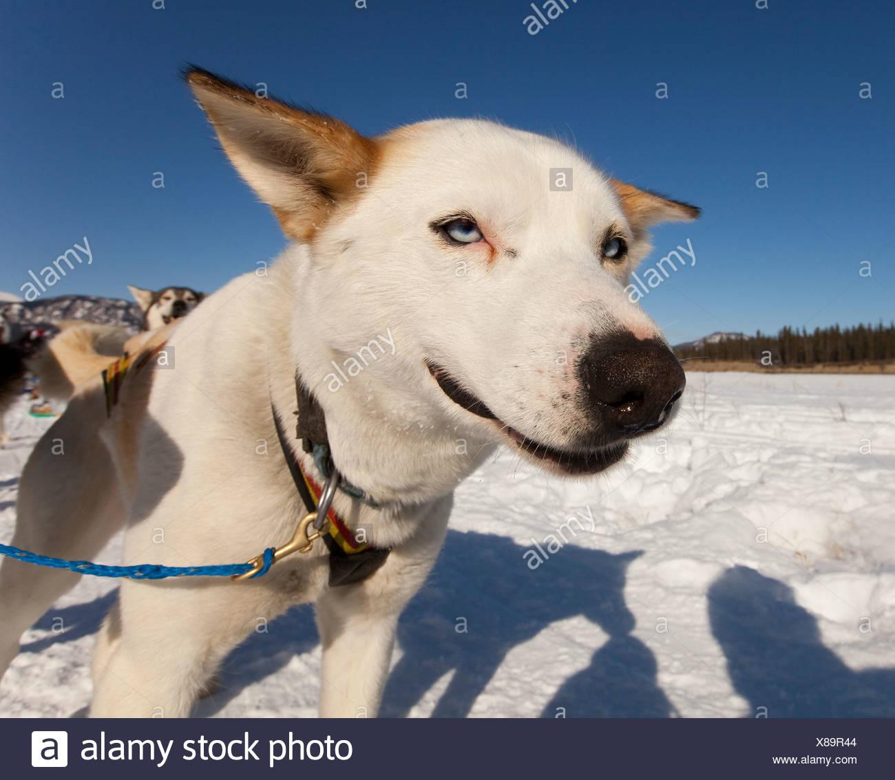 Ritratto di Sled Dog, cane piombo, Alaskan Husky, congelati Yukon River, Yukon Territory, Canada Immagini Stock
