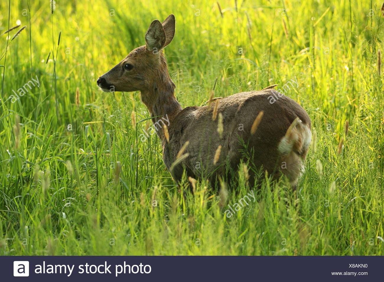 Unione il capriolo (Capreolus capreolus), doe, in erba alta Algovia, Baviera, Germania Immagini Stock