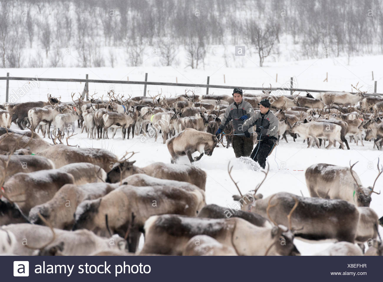 Sami reindeer herders contrassegnare i vitelli in inverno. Immagini Stock