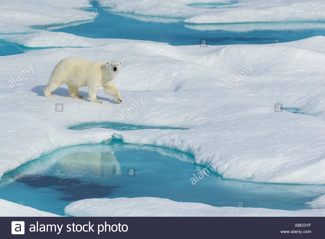 Un orso polare (Ursus maritimus) wanders passato piscine di acqua su un glaçon nell'Artico Canadese. Immagini Stock