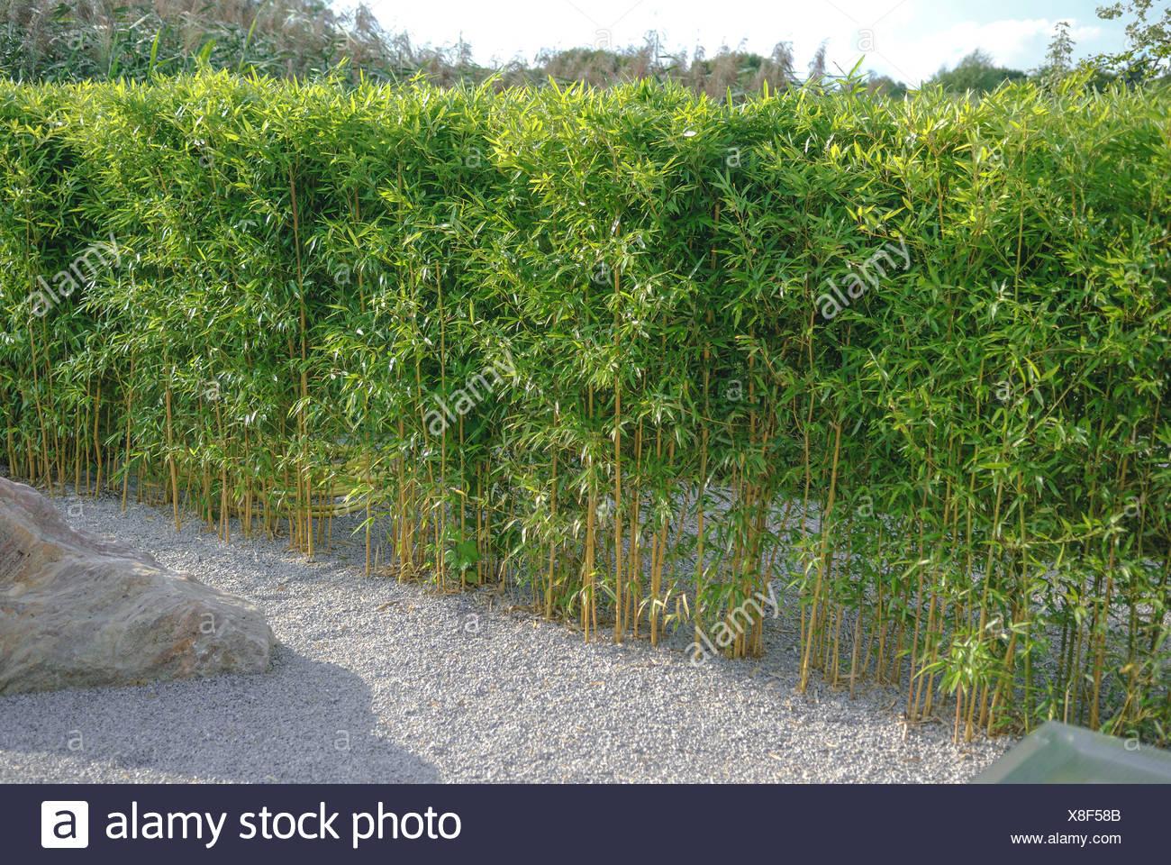 Siepe Di Bambu.Giallo Bambu Scanalato Phyllostachys Aureosulcata Fo