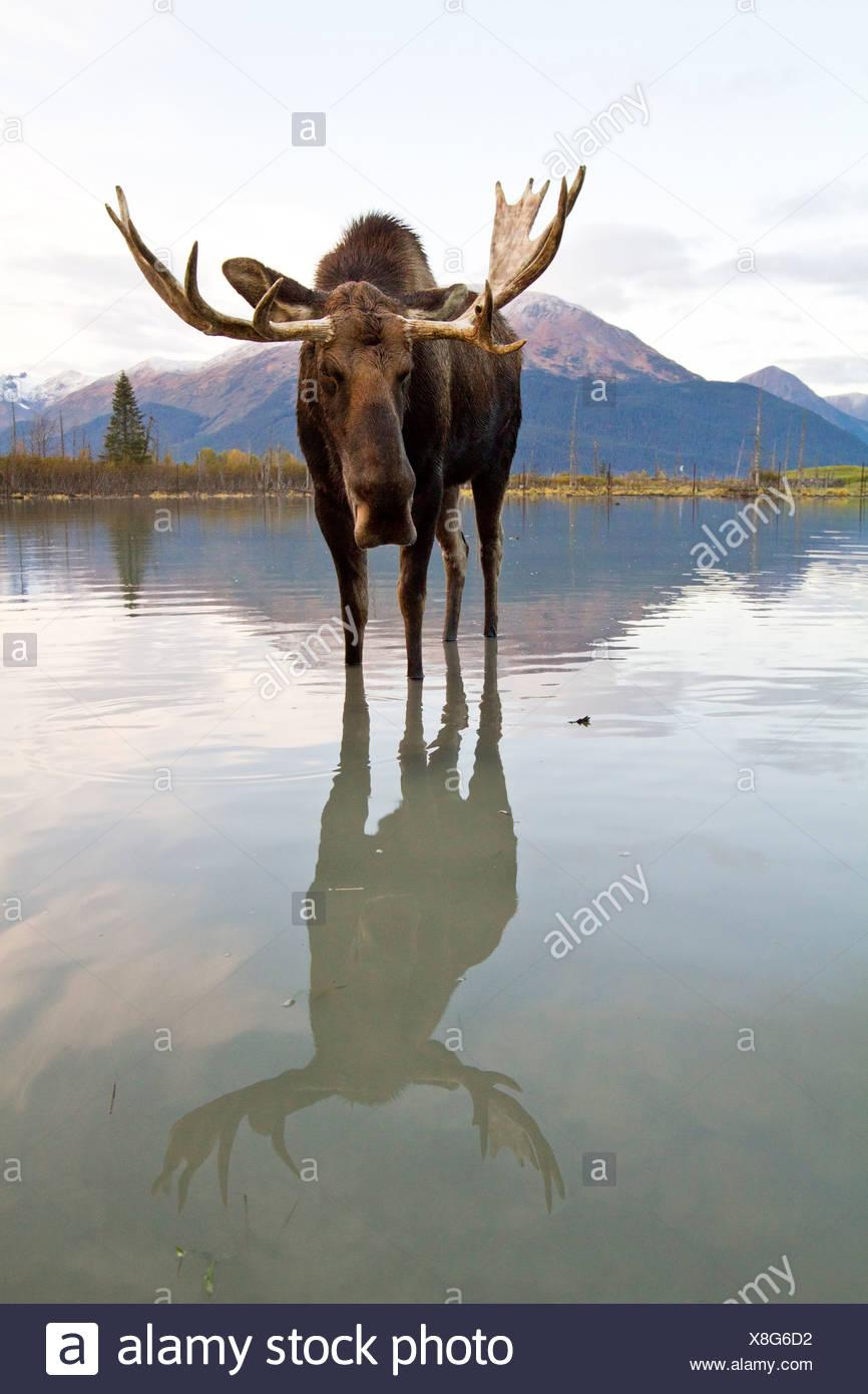 CAPTIVE: Bull moose le passeggiate attraverso alta marea acqua, Alaska Wildlife Conservation Centre, centromeridionale Alaska, Autunno Immagini Stock