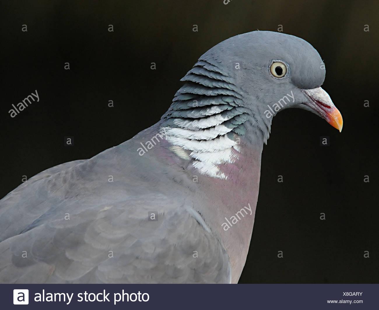 La testa di un piccione rock o rock colomba Immagini Stock