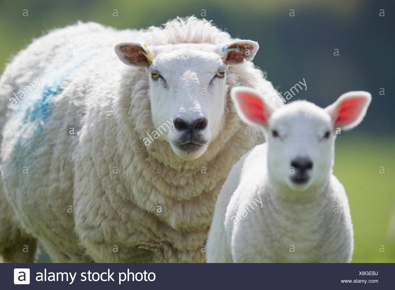 Ritratto di pecore e agnelli, concentrarsi sullo sfondo Immagini Stock