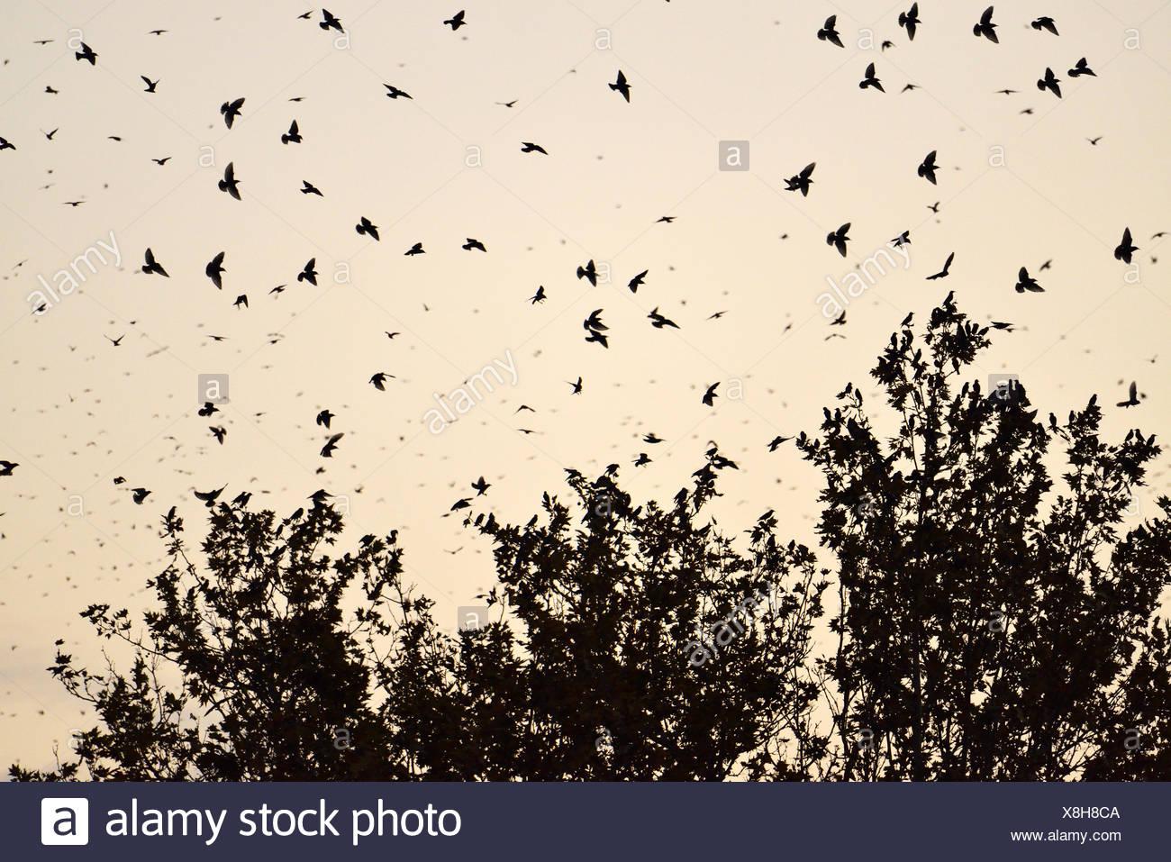 Stormo di uccelli, storni (Sturnus vulgaris) che circonda il loro albero a pelo, Italia Immagini Stock