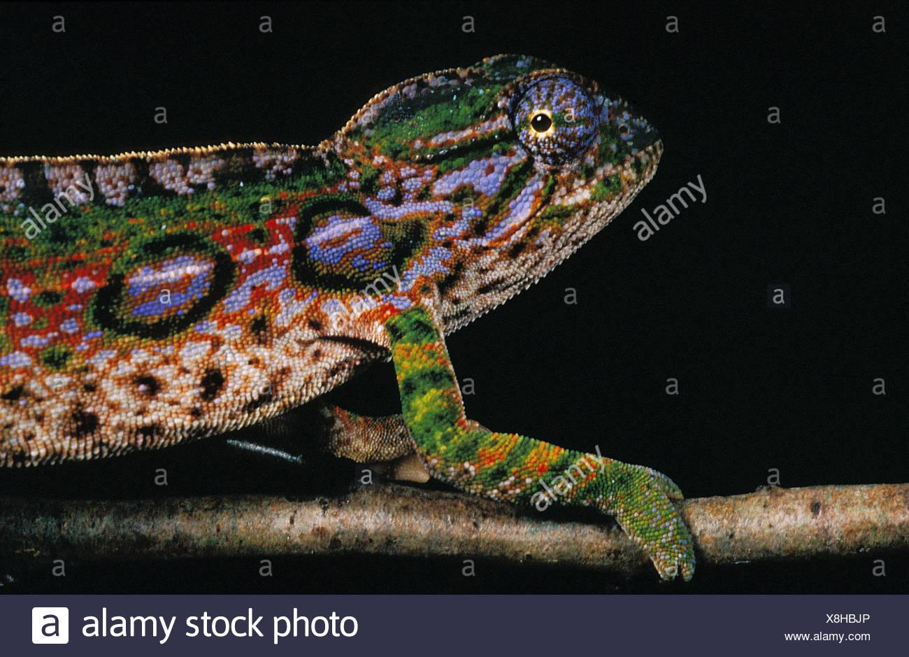 Madagascar Forest camaleonte, furcifer campani, bellissimi colori su sfondo nero Immagini Stock