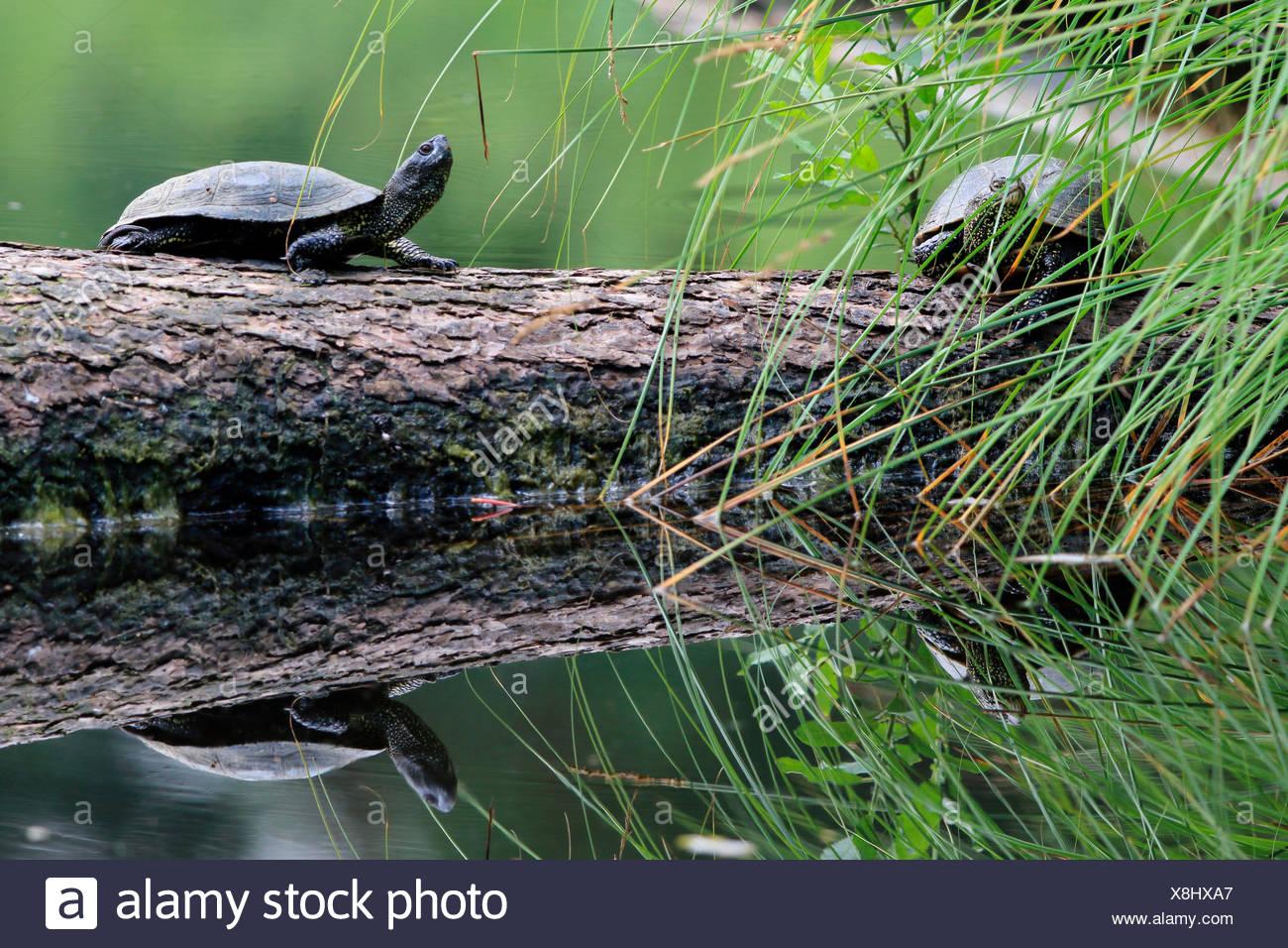 Europaeische Sumpfschildkroete, Emys orbicularis, Moorsee, Pfrunger-Burgweiler Ried, Baden-Wuerttemberg, Deutschland, Europa Immagini Stock
