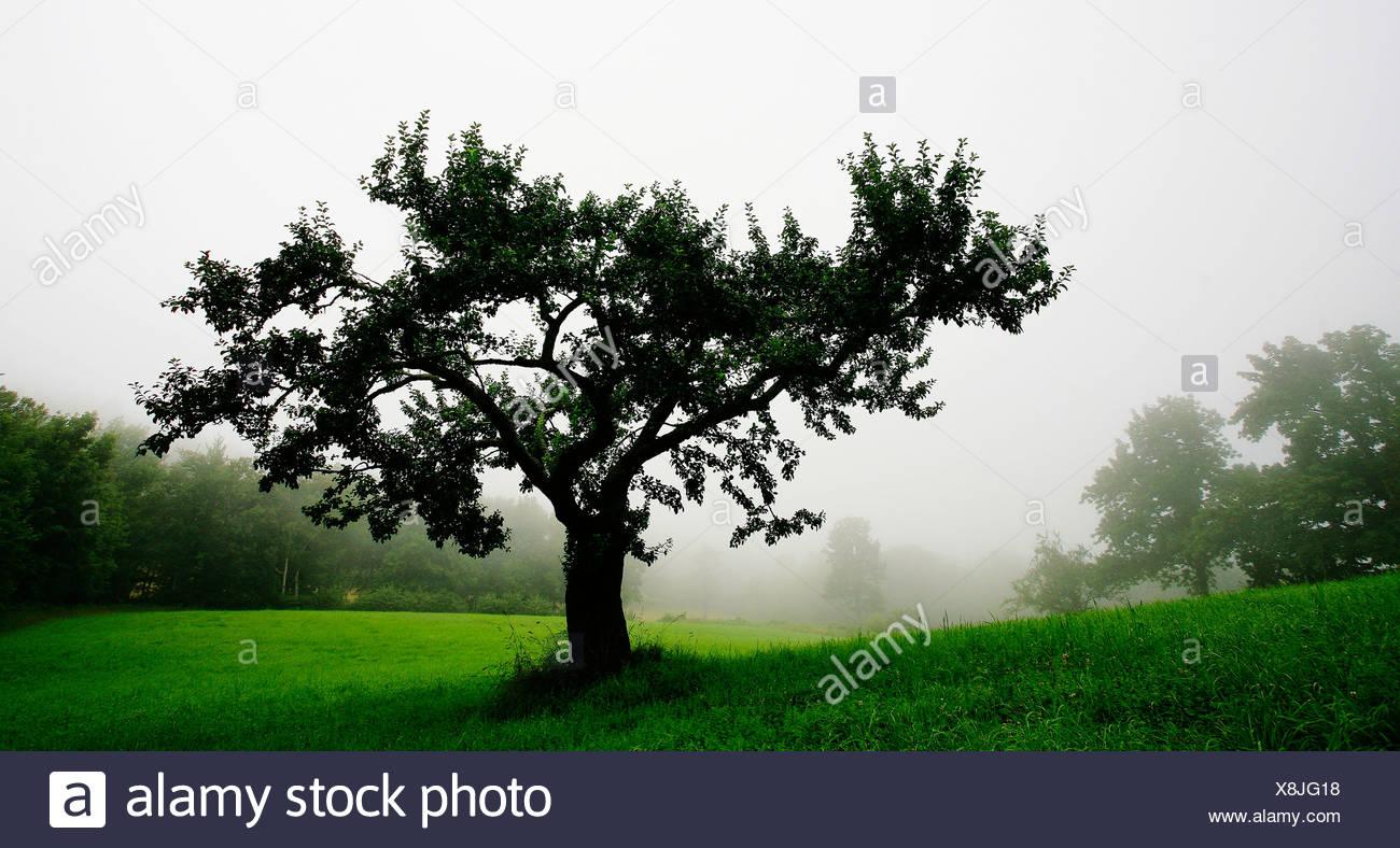 Melo spicca di nebbia, nebbioso giorno. Immagini Stock