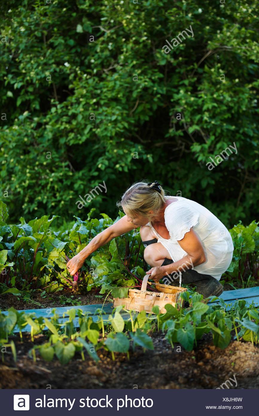 La Svezia Ostergotland, donna matura la raccolta di frutta Immagini Stock