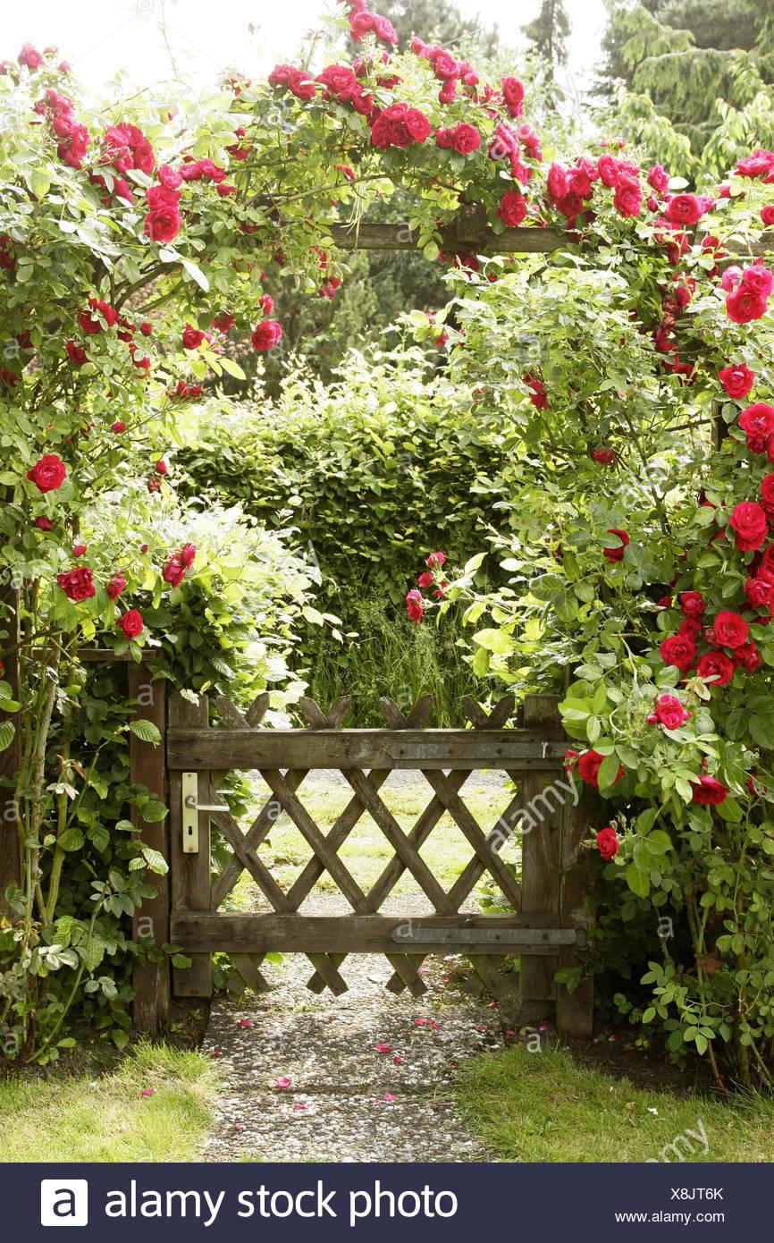 Piante Di Rose Rampicanti giardino, cancello in legno, arco di rose, rose rampicanti