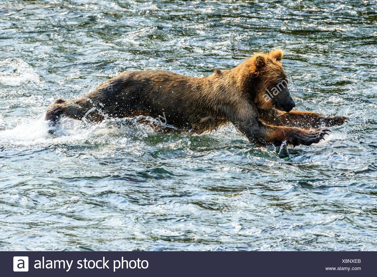 Yearling orso bruno Ursus arctos, per la pesca del salmone al di sotto di Brooks Falls. Immagini Stock