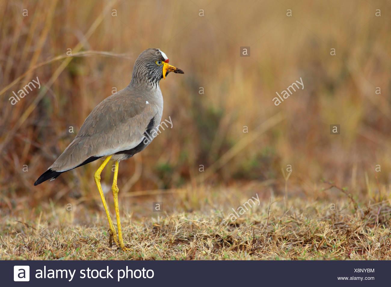 Senegal wattled plover (Vanellus senegallus), in piedi sul suolo, Sud Africa, Ithala Game Reserve Immagini Stock