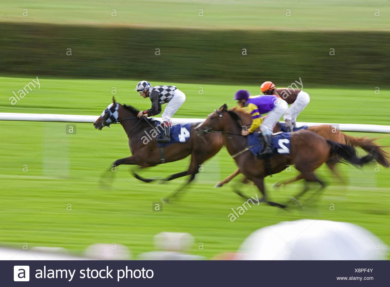 Cavalli domestici (Equus przewalskii f. caballus), corse di cavalli Immagini Stock
