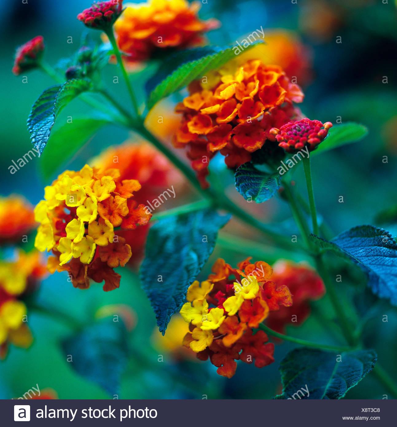 Ordinare Fiori.Rosso Giallo Ad Arancione Fioritura Fiore Di Ordinare La