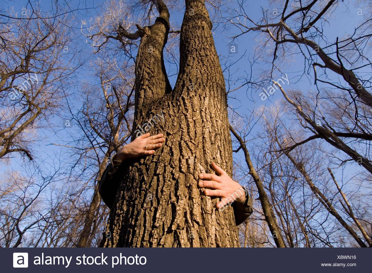 Un uomo quasi avvolge le sue braccia tutti circa il modo in cui un albero in una foresta. Immagini Stock