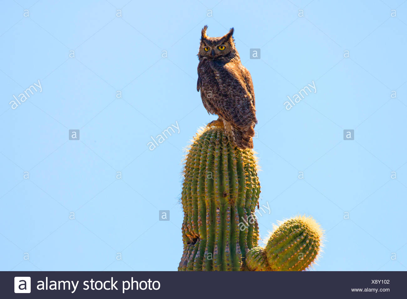 Grande gufo cornuto (Bubo virginianus), ontip di un cactus Saguaro, USA, Arizona, Phoenix Immagini Stock