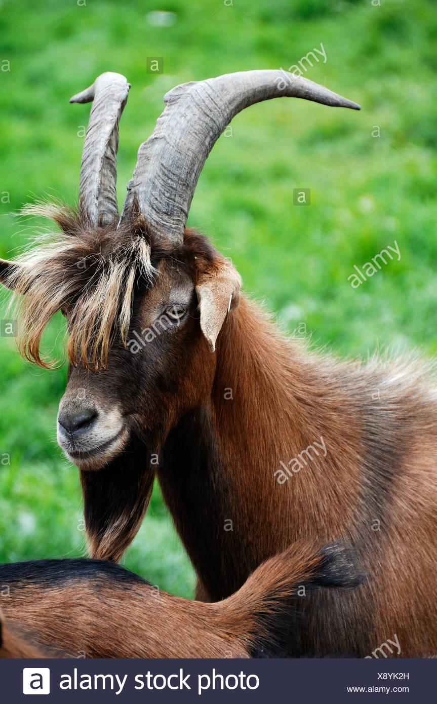 Caprone, croce di una capra della Turingia e un Bunte Deutsche Edelziege razza, la fattoria organica in Othenstorf Immagini Stock
