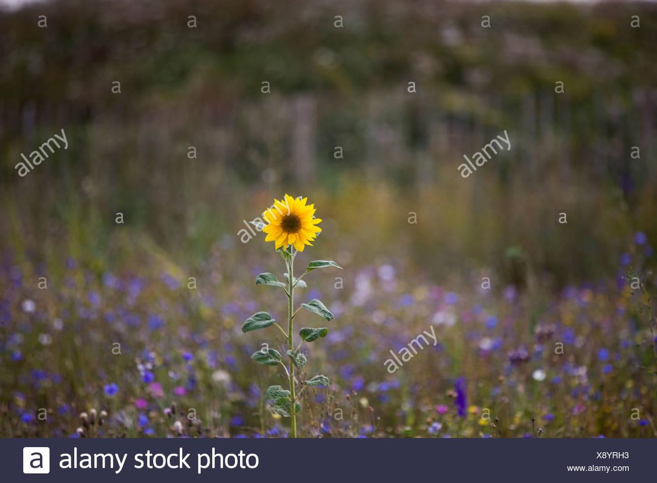Un girasole in crescita in un prato di fiori selvatici Foto ...