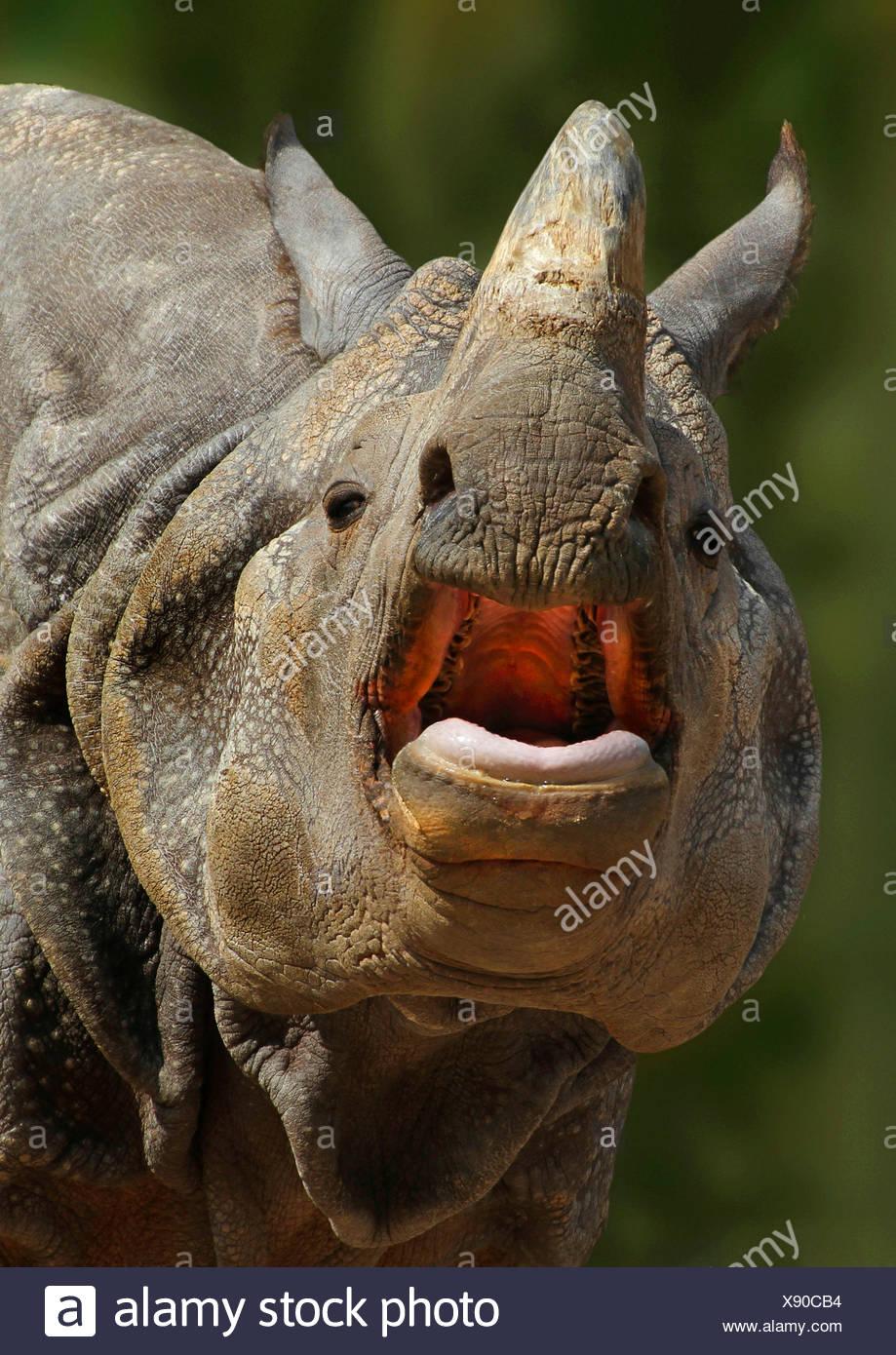Maggiore il rinoceronte indiano, Great Indian One-cornuto rinoceronte (Rhinoceros unicornis), ritratto con la bocca aperta, India Immagini Stock