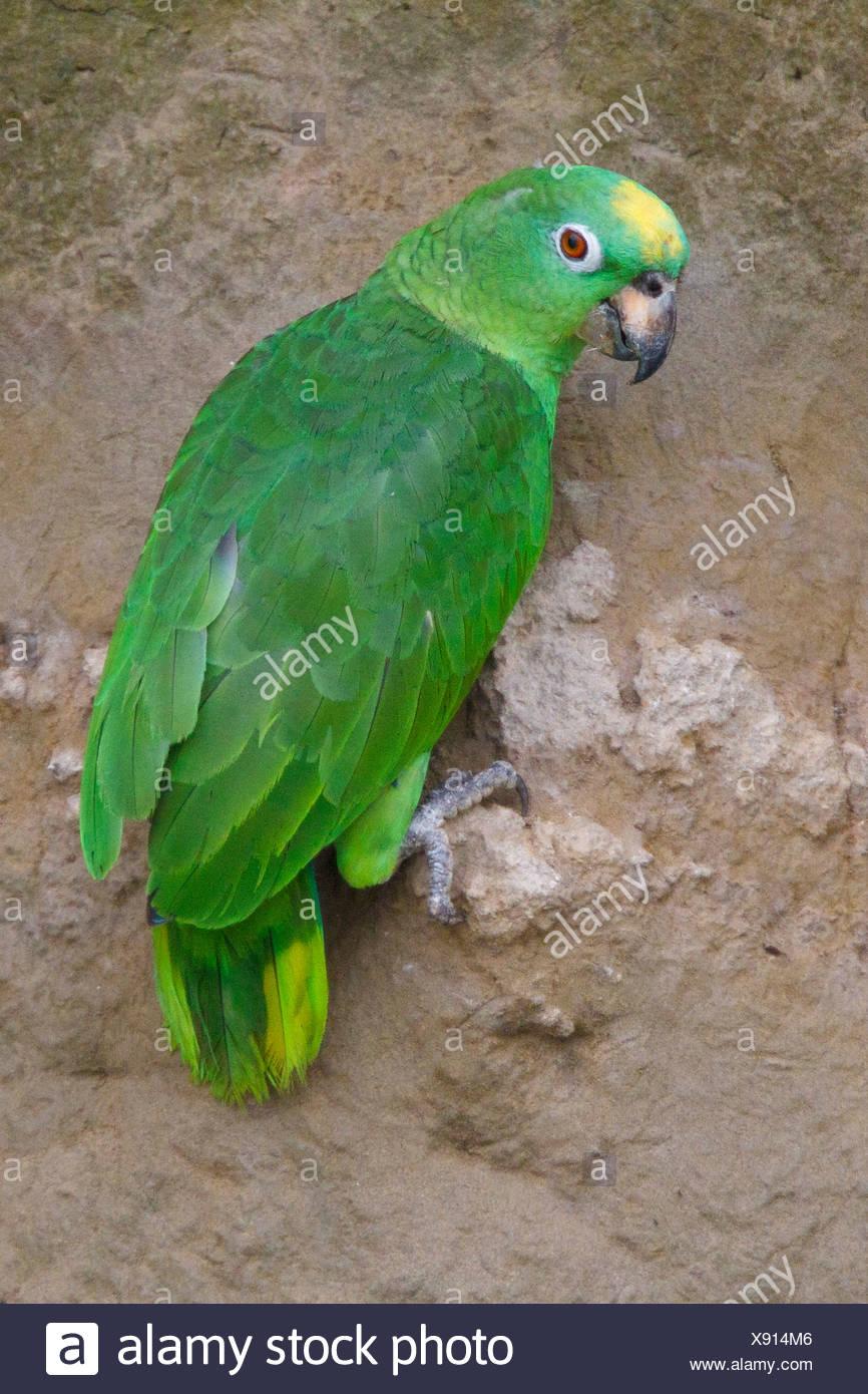 Giallo-incoronato Amazon (Amazona ochrocephala) alimentazione in corrispondenza di una argilla leccare amazzonica in Ecuador. Immagini Stock