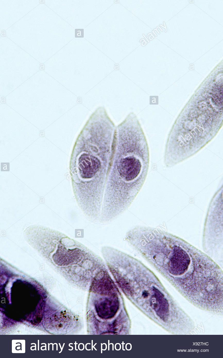 Paramecio, coniugazione, protozoi, Ciliophora unicellulare ciliato, ambienti di acqua dolce, 400 X microscopio ottico, Immagini Stock