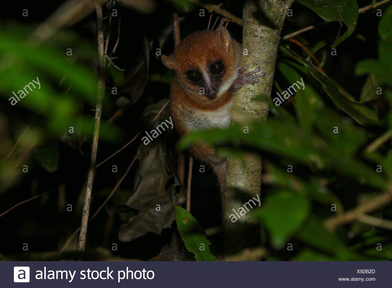 Arnhold il lemure del mouse o Montagne d'Ambre mouse lemur Microcebus (arnholdi), Ambra Mountain National Park, Nord del Madagascar Immagini Stock