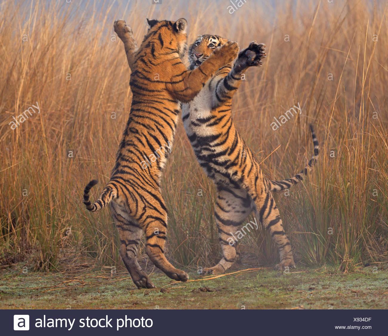 Tigre del Bengala (Panthera tigris tigris) 11 mese cubs giocare combattimenti, Ranthambhore National Park, India. Immagini Stock