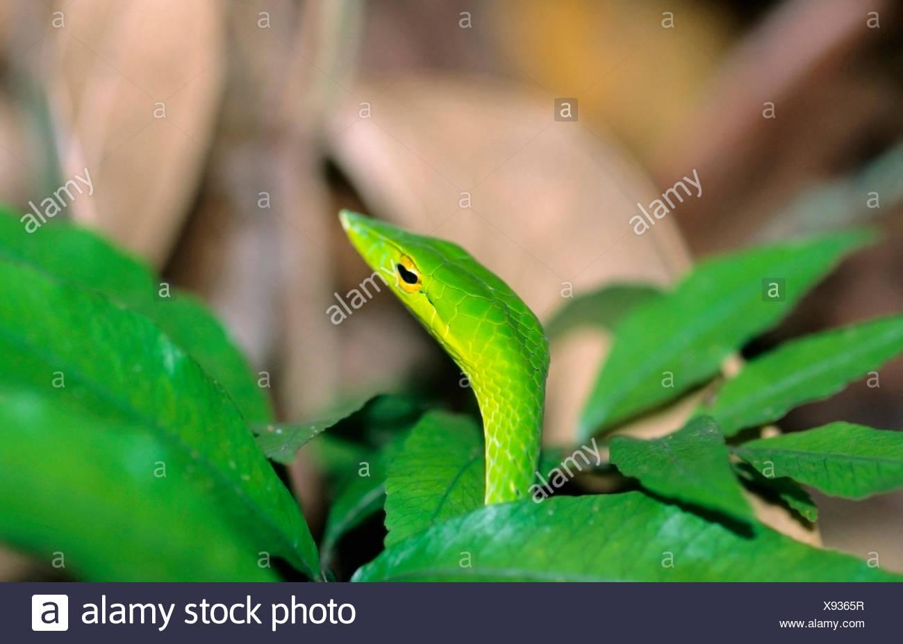Vite verde serpente Ahaetulla nasuta Foto Stock