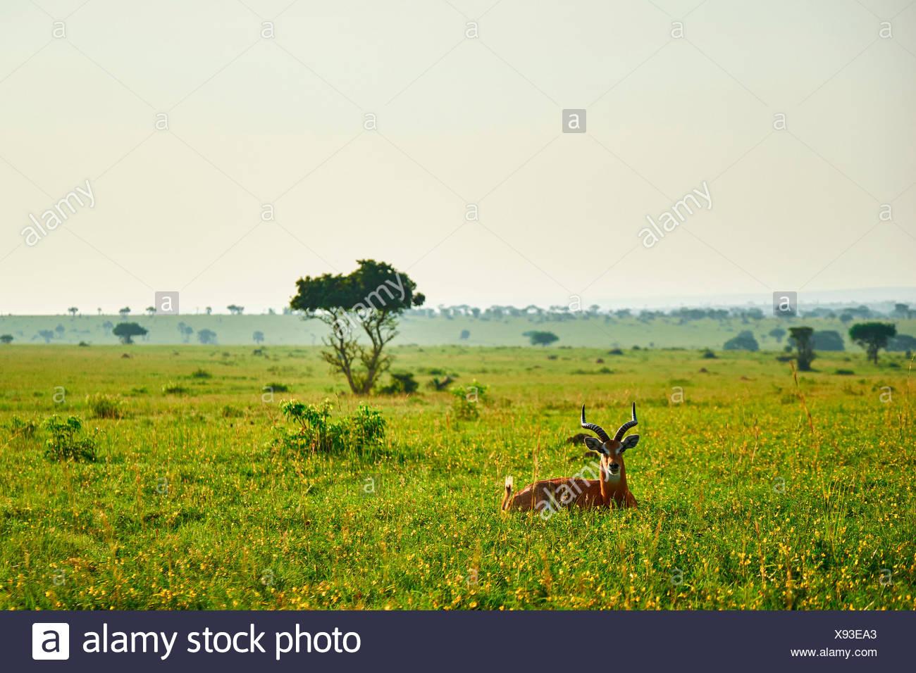 Paesaggio africano con gazelle, Queen Elizabeth National Park, Kasese, Rwenzururu sub-regione, Uganda occidentale, Uganda, Africa Immagini Stock