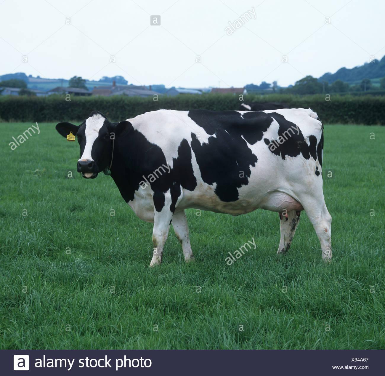 Holstein Frisone mucca mungitura sul buon pascolo estivo Devon Immagini Stock