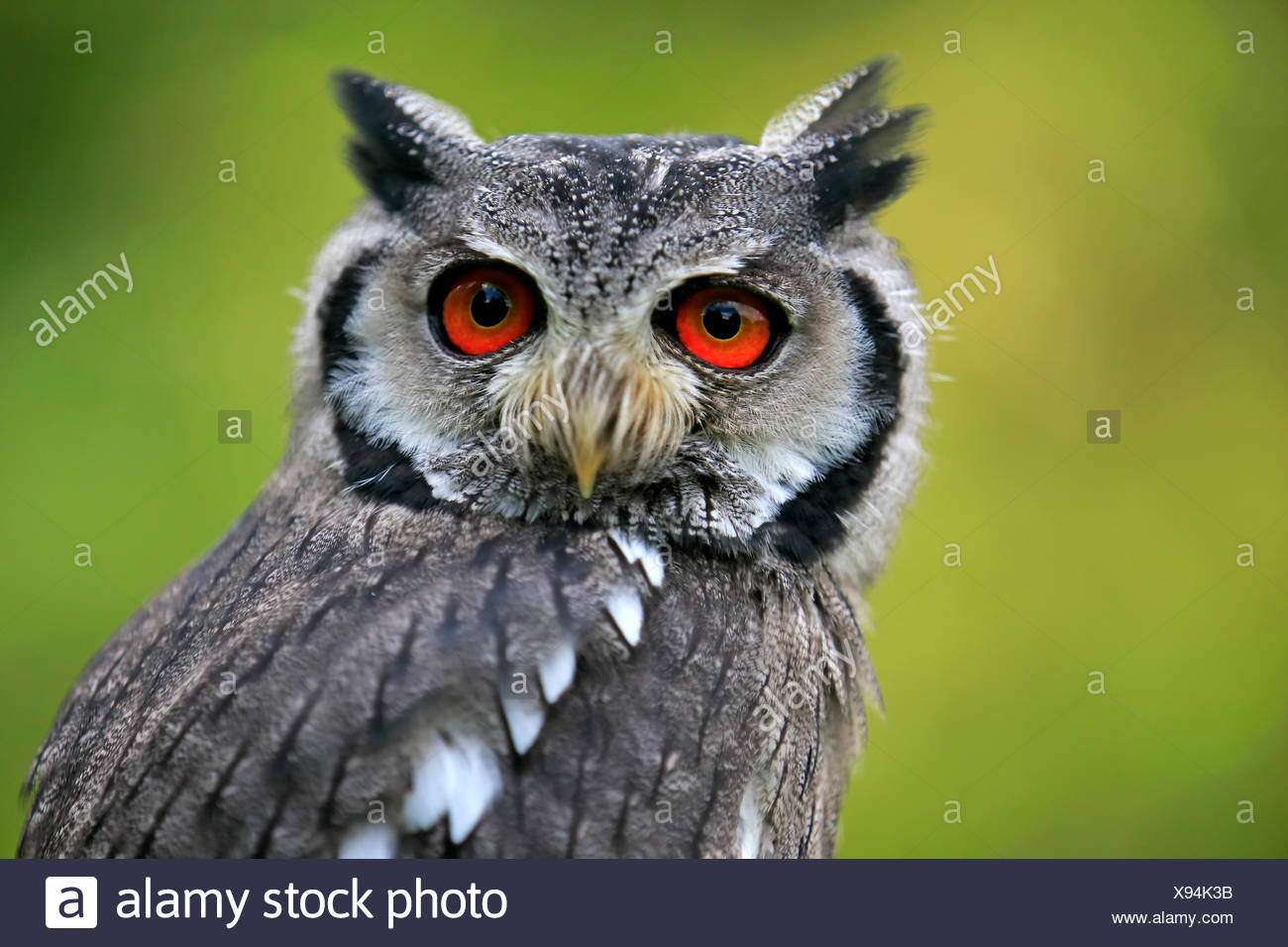 Southern White-Faced Owl, Africa / (Ptilopsis granti) Immagini Stock