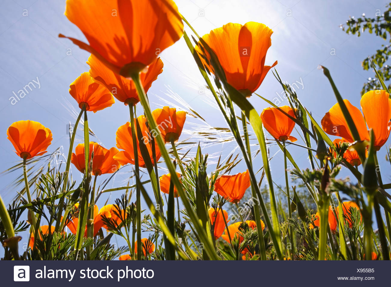 Oregon, Stati Uniti d'America; poppies in crescita in Willamette Valley Immagini Stock