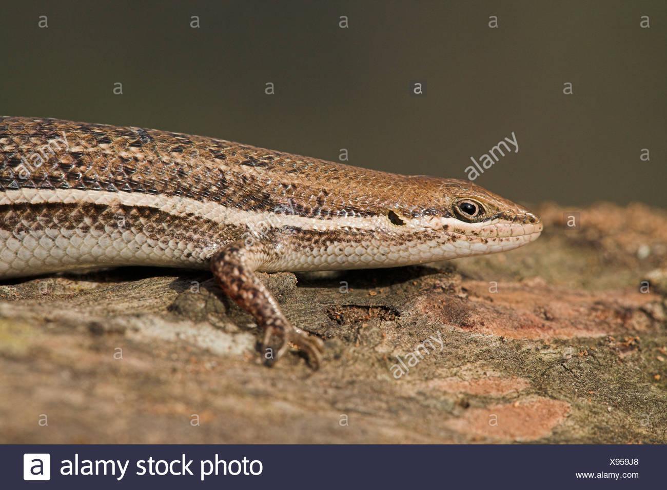 Foto di una variabile skink, una delle specie più comuni in Sud Africa Immagini Stock