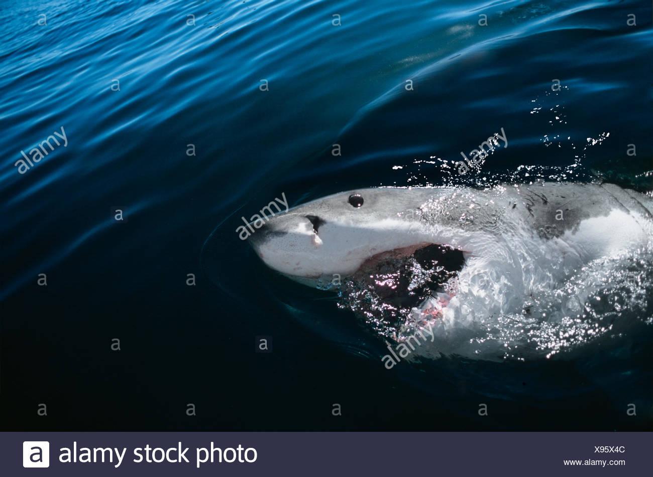 Il grande squalo bianco (Carcharodon carcharias) affiorante con la bocca aperta, Dyer Island, Sud Africa, Oceano Atlantico. Immagini Stock