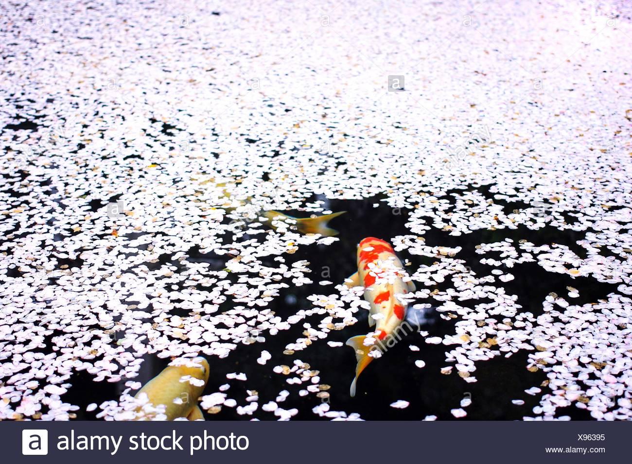 Angolo di Alta Vista di pesci Koi in stagno Immagini Stock